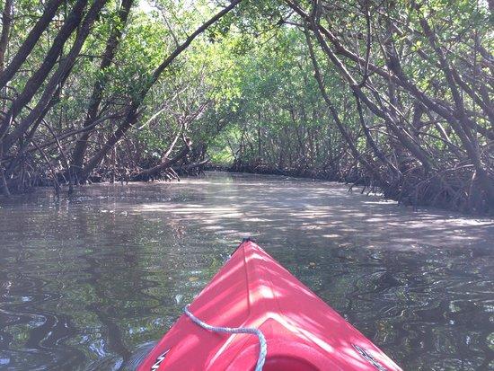 Captiva Kayak Company & Wildside Adventures: in the mangroves
