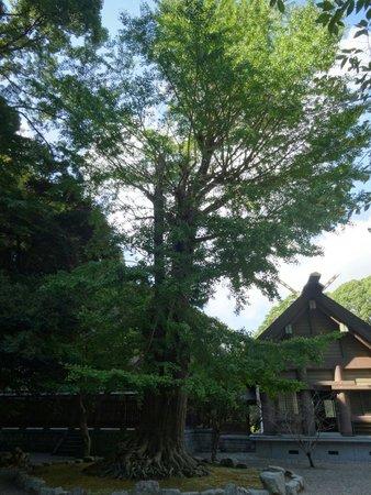 Awa Jinja: 拝殿の隣に大きな木があります。 複雑に絡み合った根が地上に出ていて、見入ってしまいました。