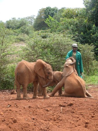 David Sheldrick Wildlife Trust : young ellies interacting with their caretaker at the Elephant Orphanage