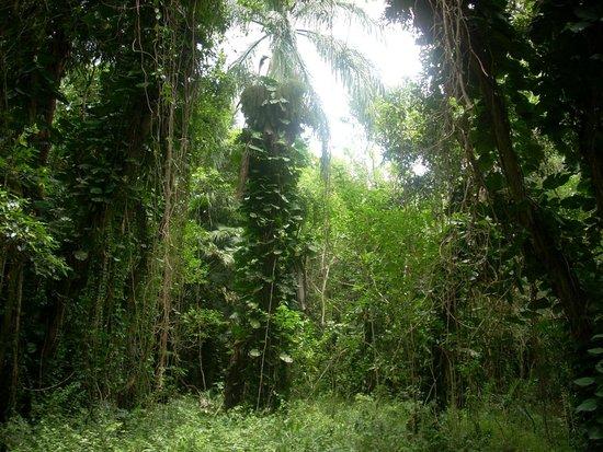 Maunawili Falls: rainforest