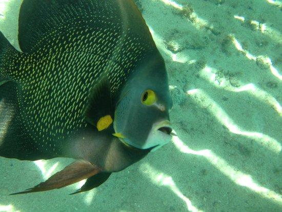 Secrets Aura Cozumel : French Angel fish