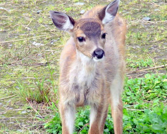 Silverking Lodge: Friendly Deer One Can Feed, Silver King Lodge, Ketchikan, Alaska