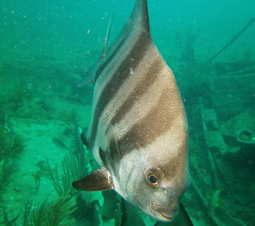 Benwood wreck: Atlantic Spadefish