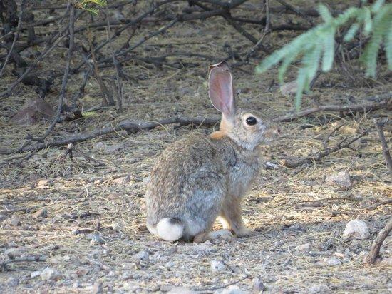 Hacienda Del Sol Guest Ranch Resort: Bunny on Wash Hike
