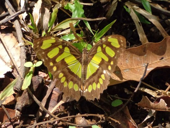 Province of Alajuela, Kosta Rika: Butterfly at Norma's Villas in Costa Rica