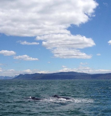 Southern Right Whales off the coast of Hermanus
