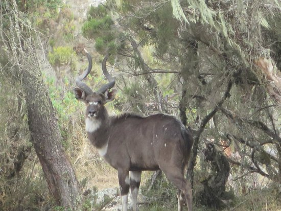 Bale Mountains: Nyala