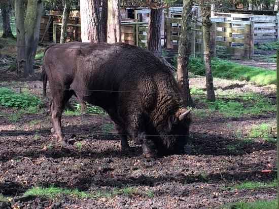 New Forest Wildlife Park: European bison close up at feeding time