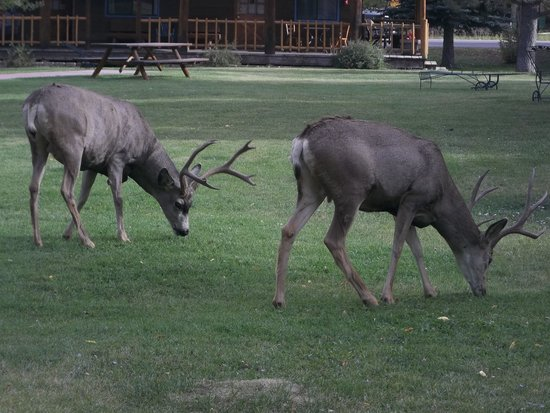 Vista Court Cabins & Lodge: Deer grazing in the common area