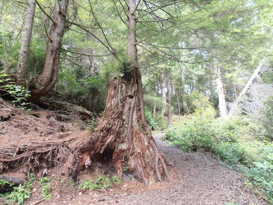 Waldport, OR: tree growing out of stump