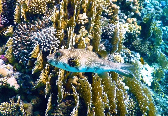 The Palace Port Ghalib: A Puffer fish at the Intercontinental´s reef....