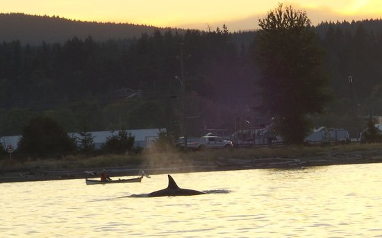 Driftwood by the Sea Inn and RV Resort: orca passing campbell river (and Driftwood by the Sea)
