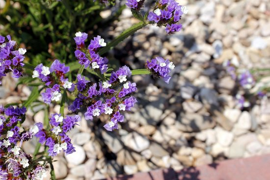 White Oak Lavender Farm : More pretty flowers