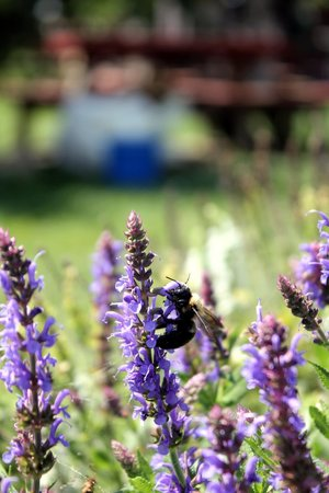 White Oak Lavender Farm : Bees enjoy the lavender