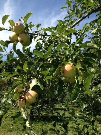 Bethlehem, CT: Fresh apples!!