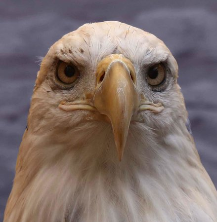 The Raptor Center : Eagle, from 8 feet away