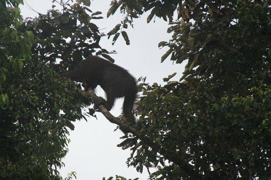 Borneo Nature Lodge : Wild Orangutan