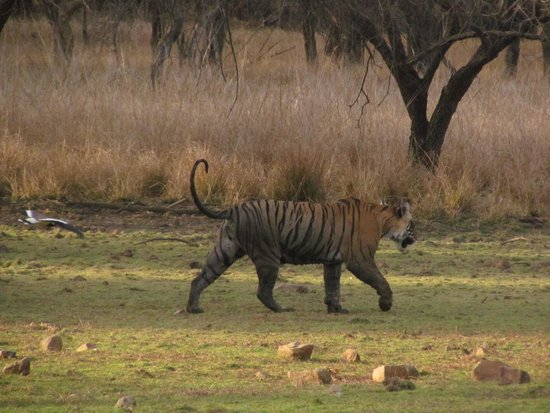 Ranthambore National Park : Tiger sighting