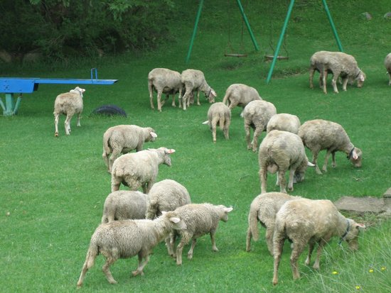 Mountain Park Hotel : The sheep / goats grazing freely all over the resort