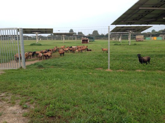 Mercure Hotel München Airport Aufkirchen: Goats within a solar farm , next to the wheat field in Aufkirchen