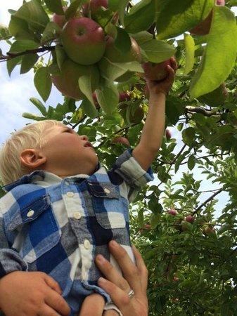 Applecrest Farm Orchards: Picking Macs