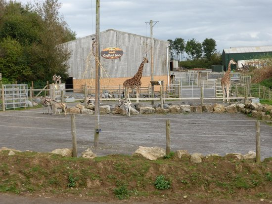 Begelly, UK: The Giraffe enclosure
