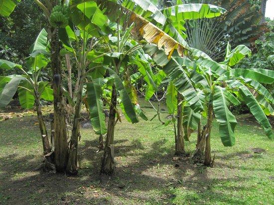Gites les Manguiers: les bananiers