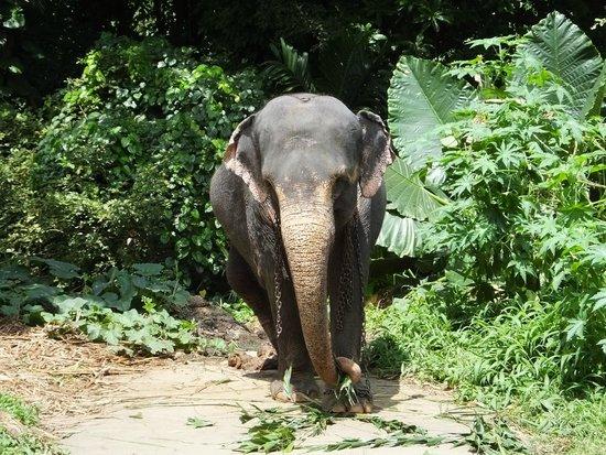 Millennium Elephant Foundation: Grazing ..!