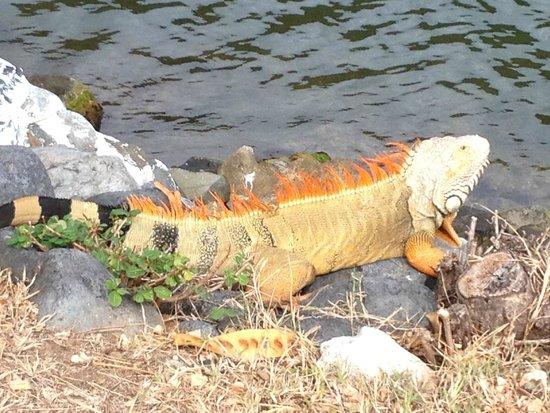 Anse Marcel, St. Maarten: Gaston L'Iguane familier....