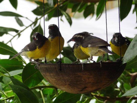 Anse Marcel, St. Maarten: les oiseaux de l'Ile.je crois qu'ils s'appellent les sucriers. Ils mangent du sucre.