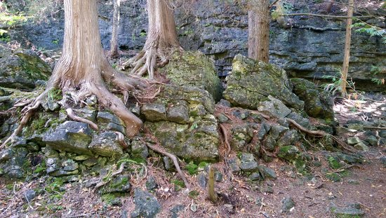 Elora, Canadá: My favourite picture of the roots weaving through rock
