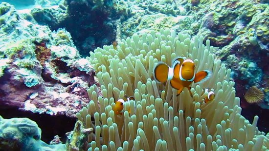 Pa-Lao-Yu Dive Resort El Nido: Clown fish in El Nido