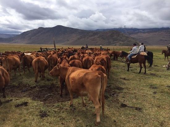 Hunewill Guest Ranch : Cattle Work