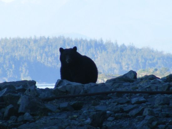 Hidden Cove Lodge: Bear on the shore