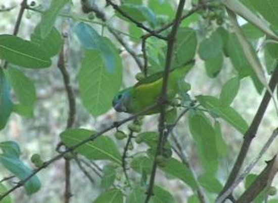 Cairns Holiday Park: Double-eyed Fig Parrots are right on the property