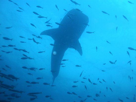 Coral Grand Divers : Whaleshark!