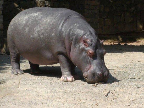 Bauru, SP: rinoceronte do zoo