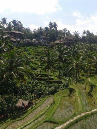 Dani Homestay: Rice terraces near-by