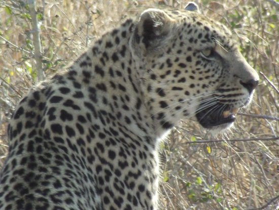 Chitwa Chitwa Private Game Reserve : Beautiful leopard.