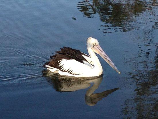 Anchor Bay Motel: Fishing Pelican