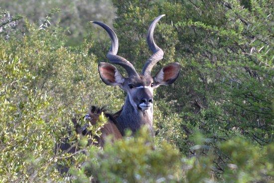HillsNek Safaris, Amakhala Game Reserve : A stunning kudu ram