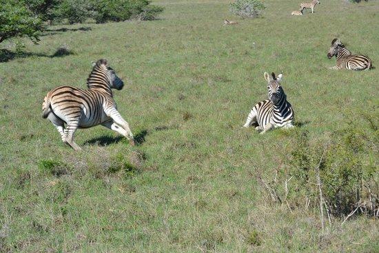 HillsNek Safaris, Amakhala Game Reserve : So many zebra