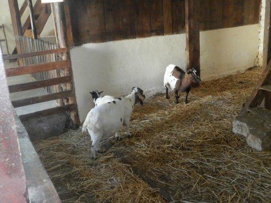 Le Vieux Mas: les chèvres