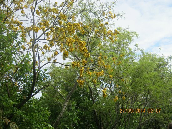 Tiritiri Matangi Island: Flowering kowhai on Tiri Matangi
