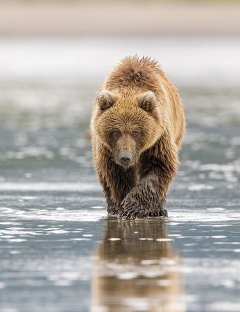 Silver Salmon Creek Lodge: Bear clamming at low tide