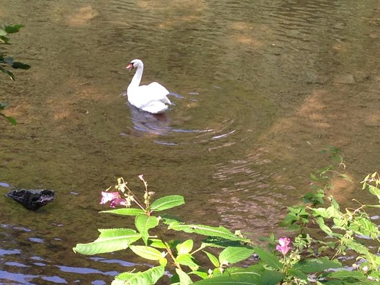 The Royal Lodge: Swan on the river