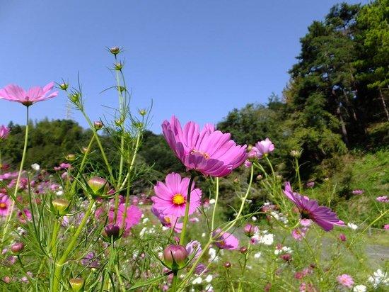 Hamamatsu Flower Park : コスモス