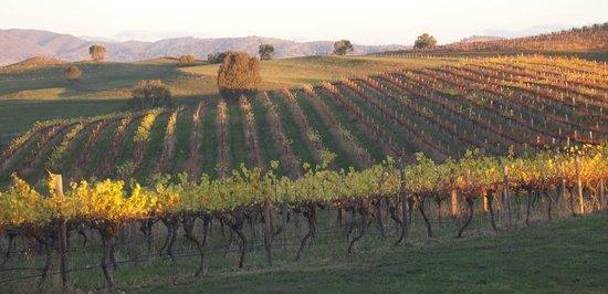 Delatite Wines: Vine rows at Delatite Winery
