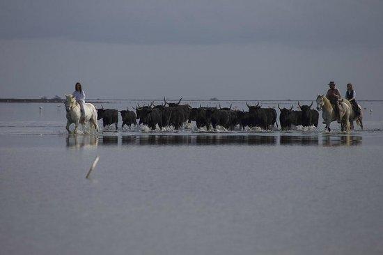 Cabanes de Cacharel : A la découverte des taureaux ...