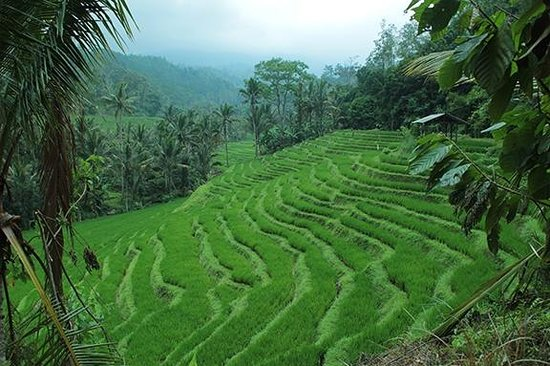 Bali Mountain Retreat : Nearby rice fields on daywalk